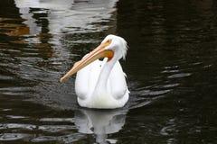 Dostojny białego pelikana dopłynięcie w stawie obraz stock