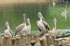 Dostrzega Wystawiających rachunek Pelikany Fotografia Stock