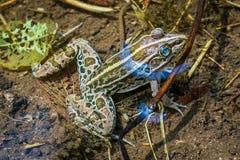 Dostrzegająca żaba w Shimane zdjęcia stock