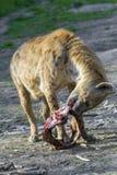 dostrzegająca crocuta hiena obraz stock
