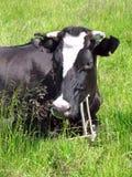 dostrzegająca czarny krowa Obraz Royalty Free