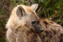 dostrzegająca dostrzegać zamknięta hiena Zdjęcia Royalty Free