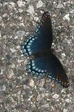 dostrzegająca motylia purpurowa czerwień zdjęcie royalty free