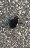dostrzegająca motylia purpurowa czerwień zdjęcia stock
