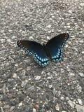 dostrzegająca motylia purpurowa czerwień fotografia stock