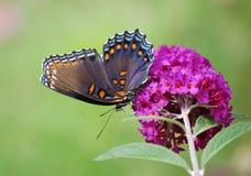 dostrzegająca motylia purpurowa czerwień Zdjęcia Royalty Free