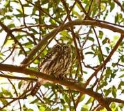 dostrzegająca owlet perła Obraz Royalty Free