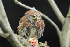 dostrzegająca owlet perła Obraz Stock
