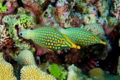 dostrzegająca pomarańczowa filefish para Fotografia Royalty Free