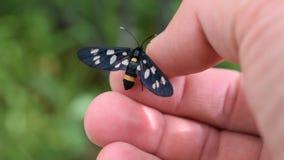Dostrzegający ćma motyl na ludzkiej ręce zbiory wideo