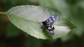 Dostrzegający ćma motyl na zielonym liściu zbiory
