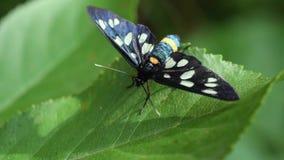 Dostrzegający ćma motyl siedzi na zielonym liściu zdjęcie wideo