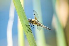 dostrzegający łowca, dragonfly zdjęcie stock