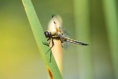 dostrzegający łowca, dragonfly zdjęcia stock