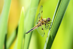 dostrzegający łowca, dragonfly obraz stock