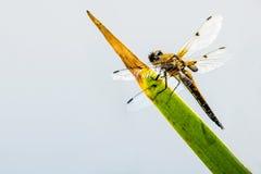 dostrzegający łowca, dragonfly obsiadanie zdjęcia stock