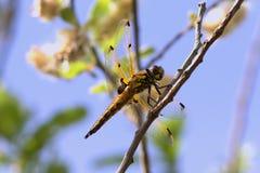Dostrzegający łowca, Libellula quadrimaculata, dragonfly w ranku słońcu obraz stock