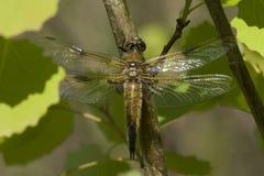 Dostrzegający łowcy Dragonfly Fotografia Royalty Free