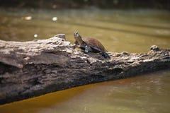 Dostrzegający amazonka rzeczny żółw, Podocnemis unifilis Jeziorny Sandoval, Amazonia, Peru Fotografia Stock