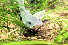 Dostrzegający Dogfish/Dostrzegający catshark Zdjęcia Royalty Free