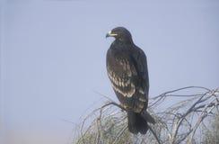 Dostrzegający orzeł, Aquila clanga fotografia stock
