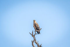 Dostrzegający orzeł w drzewie w Kruger parku narodowym Obraz Stock