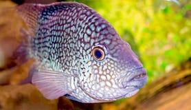 dostrzegająca galanteryjna ryba Fotografia Stock