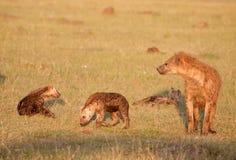 dostrzegająca rodzinna hiena Obrazy Royalty Free