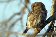Dostrzegający Owlet (Glaucidium perlatum) Obrazy Stock
