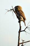 Dostrzegaj?cy Owlet (Glaucidium perlatum) Fotografia Stock