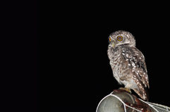 dostrzegający ptasi owlet Zdjęcia Royalty Free