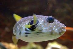 dostrzegający rybi puffer Obrazy Royalty Free