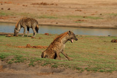 2 dostrzegali hieny na równinach w Hwange parku narodowym Zdjęcia Royalty Free