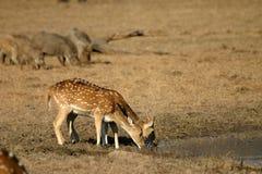 dostrzegam jelenia pić Zdjęcie Royalty Free