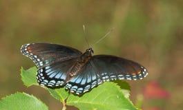 Dostrzegam Purpurowy Admiral motyla odpoczywać zdjęcie stock