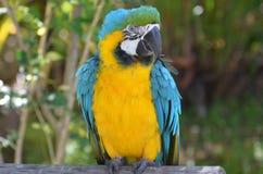 Dosyć Żółty i Błękitny ara ptak Zdjęcie Royalty Free