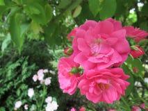 Dosyć śliczne lato róże przy Ladner, delta, lato 2018 fotografia stock