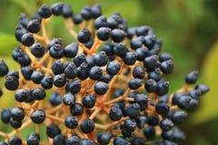 Dosyć błękitna roślina Obraz Stock