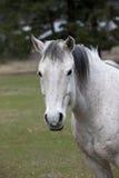 Portret biały koń. Obrazy Royalty Free