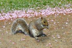 Dosyć mała wiewiórka Zdjęcie Royalty Free