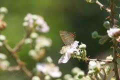 Dosyć rzadki listu modraszka motyla satyrium album nectaring na jeżynowym kwiacie wysokim w krzaku obraz royalty free
