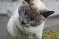 Dosyć Syjamskiego kota łasowania ostrza Zielona trawa zdjęcie stock