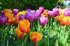 Dosyć w Różowych tulipanach obrazy stock