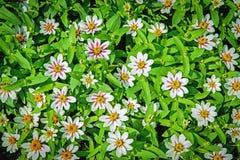 Dosyć Biali kwiaty Kwitnie w ogródzie w odgórnym widoku dla backgr Zdjęcia Royalty Free