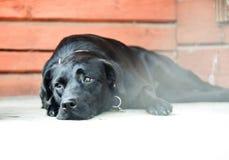 Dosyć smutny czarnego psa labrador Zdjęcia Royalty Free