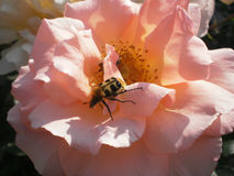 Dot bug. Unusuall bug in rose flower Royalty Free Stock Photos