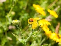 7-Dot Ladybird & x28; Punctata& x29 di Coccinella 7; sul fiore giallo Fotografie Stock Libere da Diritti