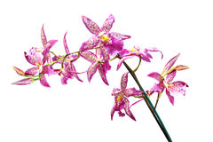 Dot Orchid Stock Photos