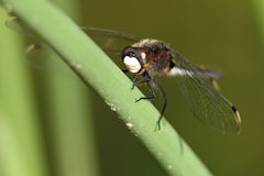 Dot-tailed Whiteface Dragonfly Royalty Free Stock Photo