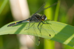 Dot-tailed Whiteface Dragonfly Stock Image